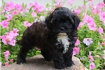 Picture of Kayte / Shih-Poo