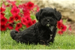 Picture of Marla / Shih-poo