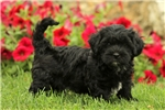 Picture of Midnight / Shih-poo