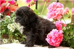 Picture of Mocha / Shihpoo