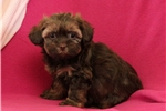Picture of Wanita / Shih-Poo