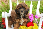 Picture of Alice / Shih-Poo
