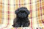 Picture of Kirby / Shih-poo