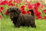 Picture of Maple / Shih-poo