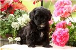 Picture of Mindy / Shihpoo