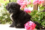 Picture of Micah / Shihpoo