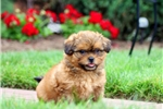 Picture of Kit Kat / Shih-poo