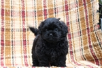 Picture of Kate / Shih-poo