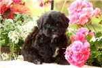 Picture of Melody / Shihpoo
