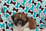 Picture of Fritz / Shih Tzu