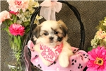 Picture of Beverly / Shih Tzu