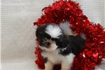 Picture of Archie / Shih Tzu
