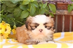 Picture of Gyselle / Shih Tzu