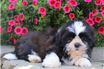 Picture of Vince / Shih Tzu