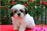 Picture of Teddy / Shih Tzu