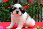 Picture of Teacup / Shih Tzu