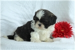 Picture of Jackson / Shih Tzu