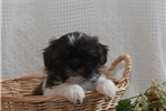 Picture of Abel / Shih Tzu