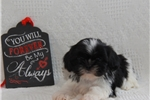 Picture of Axel / Shih Tzu
