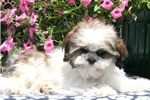 Picture of Kirby / Shih Tzu