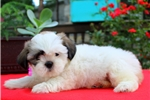 Picture of Twinkle / Shih Tzu