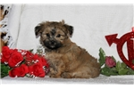 Picture of Tilly / Shorkie