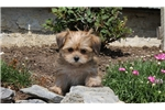 Picture of Dolly / Shorkie