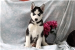 Picture of Mickey / Siberian Husky