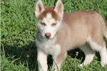 Picture of Ginger / Siberian Husky