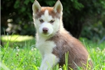 Picture of Gunther / Siberian Husky