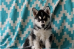 Picture of Violet / Siberian Husky