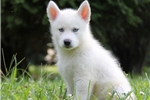 Picture of Gabe / Siberian Husky