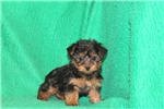Picture of Pam / Silky Terrier