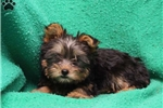 Picture of Yvonne / Silky Terrier