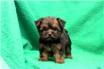 Picture of Orpha / Silky Terrier