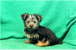 Picture of Murphy / Silky Terrier
