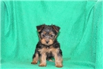 Picture of Pepper / Silky Terrier