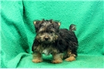 Picture of Muffin / Silky Terrier