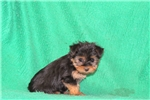 Picture of Polly / Silky Terrier