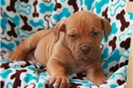 Picture of Butter / African Boerboel