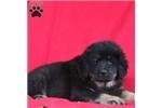 Picture of Connie / Tibetan Mastiff