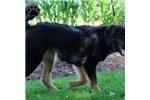 Picture of Beauty / Tibetan Mastiff