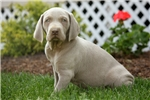 Grayson / Weimaraner | Puppy at 8 weeks of age for sale