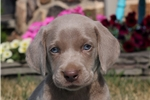Picture of Chase / Weimaraner