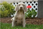 Grant / Weimaraner | Puppy at 8 weeks of age for sale