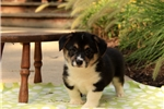 Picture of Shelby Mark / Pembroke Welsh Corgi