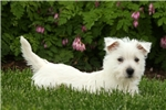 Picture of Whisper / West Highland Terrier