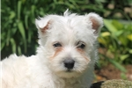Picture of Lionel / West Highland Terrier