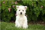 Picture of Wently / West Highland Terrier