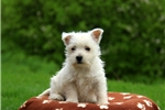Picture of Rosie / West Highland Terrier